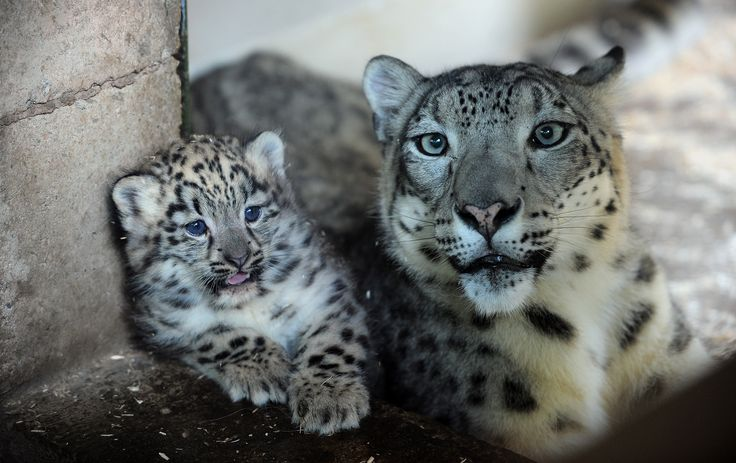 Snow Leopard Cub and Mom Play at Dudley Zoological Gardens http://www.zooborns.com/zooborns/2013/06/snow-leopard-cub-plays-with-mom-at-dudley-zoological-gardens.html