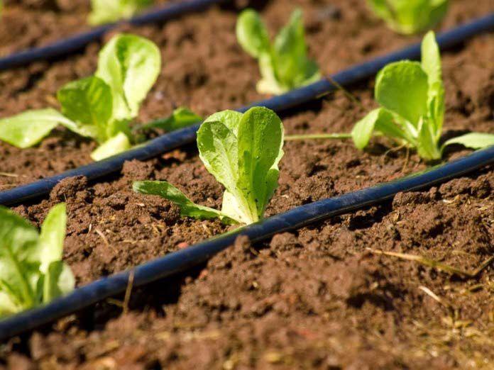 Капельное орошение благоприятно сказывается на урожайности