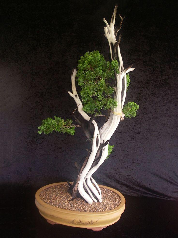 77 best images about bonsai on pinterest trees bonsai. Black Bedroom Furniture Sets. Home Design Ideas