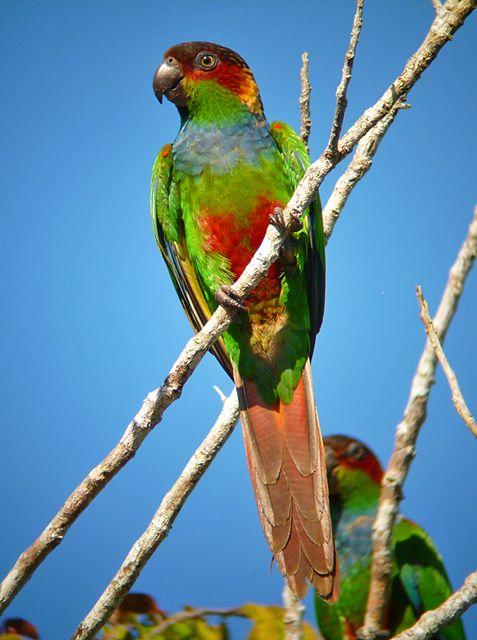 Foto tiriba-grande (Pyrrhura cruentata) por Ciro Albano | Wiki Aves - A Enciclopédia das Aves do Brasil