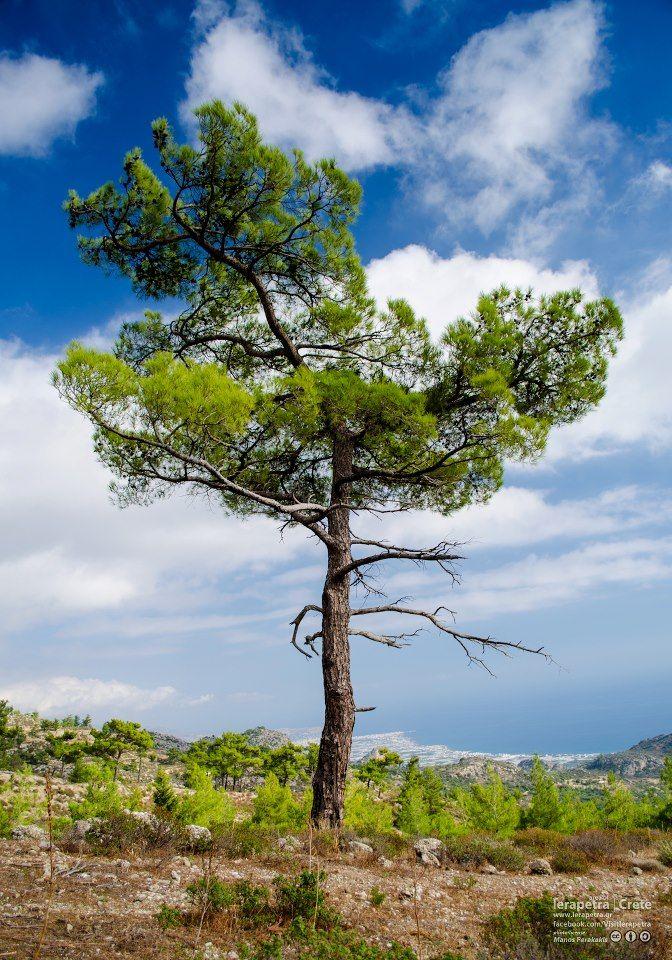 Ένα υπέροχο πεύκο στον δρόμο της Ανατολής προς τις Μάλες !  A beautiful #pine #tree on the mountain way from Anatoli to Males village !  Photo by @Visit Ierapetra     #PineTree #Ierapetra #Crete #IncredibleCrete
