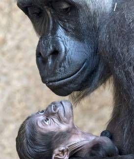 Affen-Artistik im Leipziger Zoo: Ein Gorilla-Baby genießt den Frühling