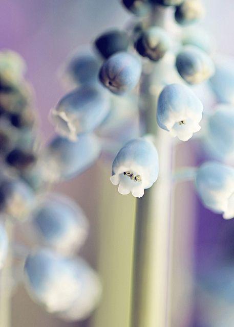 Muscari | Flickr - Photo Sharing!