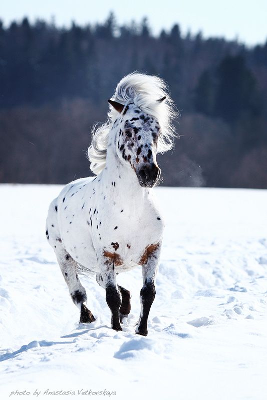 Appy indian horse Appaloosa horse equine native american pony