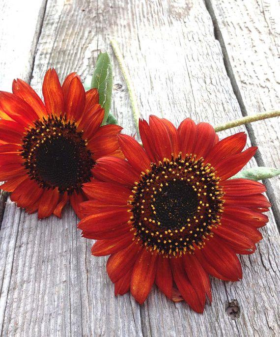 Earthwalker Sunflowers Red Sunflowers Organic Sunflower Garden Great for Cut Flowers