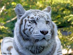 White tiger - Zoo Amneville