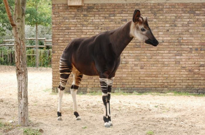 Okapi Lives In Rainforest In Ne Part Of Democratic Republic Of Congo They Eat Leaves And Has All Necessary Digestive Organs Rainforest Animals Animals Okapi