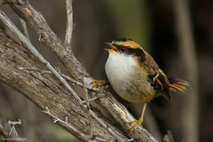 Thorn-tailed rayadito (Aphrastura spinicauda)   Huerquehue (IX), Yerba Loca (w), Rio Clarillo (w) (V), Chile