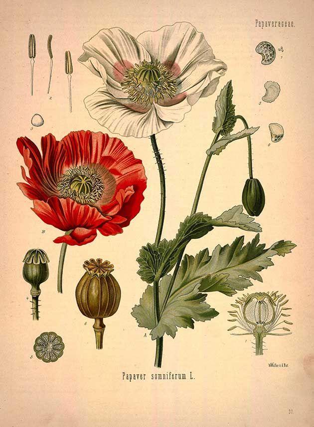 High res images of antique botanical prints. Medicinal Botanical Plants