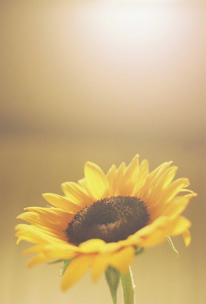 sunflower                                                                                                                                                                                 Mais