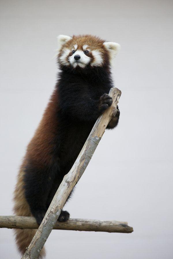 Standing Red Panda
