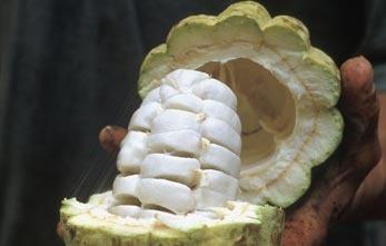 Il gusto deisemi di cacao non dipende solo dalla varietà della pianta, ma anche dal suolo, dalla temperatura, dalla luce del sole e dalle piogge.    Dopo un processo di fermentazione e di essicazione al sole, I semi di cacao vengono confezionati per il consumo locale oppure per essere spediti verso le aziende produttrici di cacao e cioccolato.