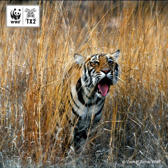 Tigers roar back in China: One of the major highlights from the last 6 year was a 2015 camera trap image of a tigress and her cubs in Northeast China – an indication of the species' recovery in that area. Many Amur tiger roam in and out of Russian and Chinese territory – since the 'Tiger Summit' the two countries have increasingly worked together to recover these tigers.  Tomorrow, we celebrate the anniversary of the 'Tiger Summit' - check back with us each day until then for another moment…
