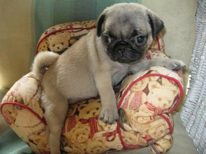 Small chair for a small pug.*