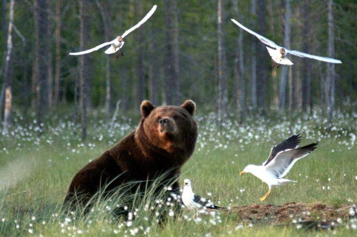 Lokit paljastavat kirkunallaan haaskalle tulleen karhun. Kuva: Mia Rönkä