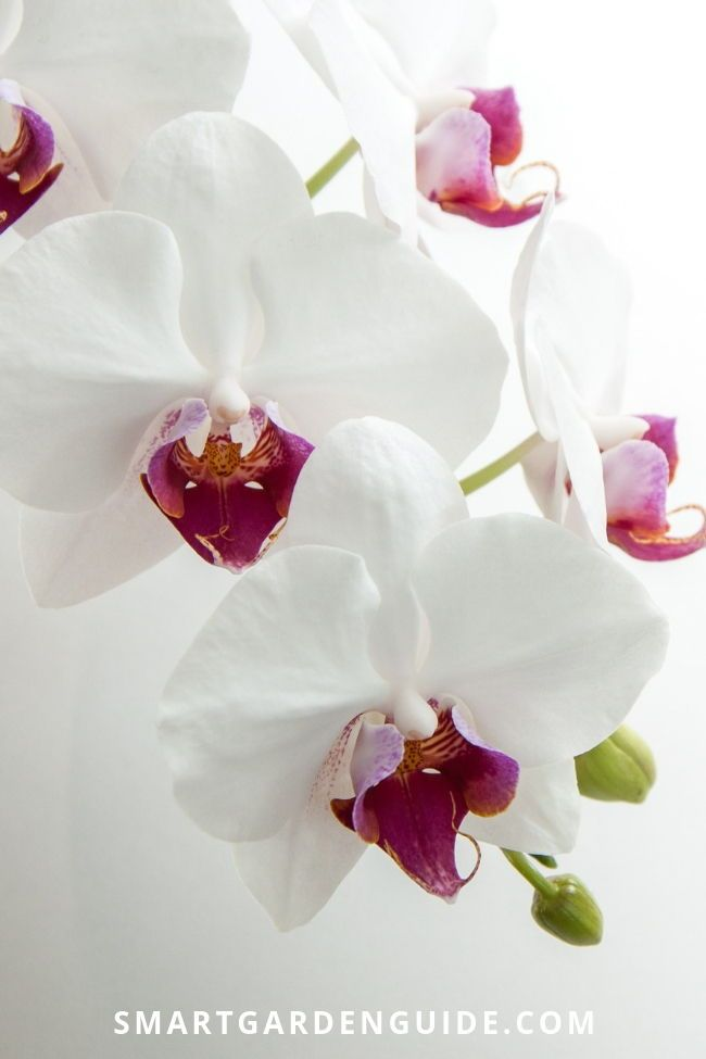 Phalaenopsis Orchid Care Orchid Care For Beginners Learn Everything You Need To Know About Gr Phalaenopsis Orchid Care Orchid Photography Phalaenopsis Orchid