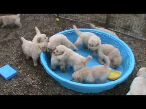 5 Week Old Litter Of Puppies Wants to Know Who Stole The Water from Their Pool!