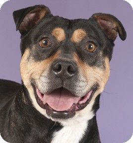 Chicago, IL Rottweiler Mix. Meet Buddy a Dog for