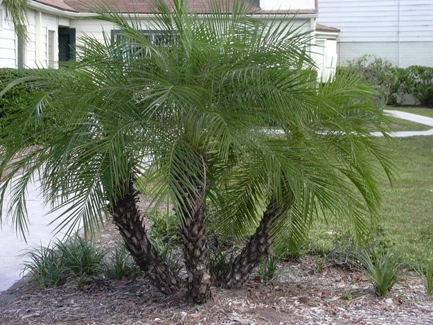 Ornamental Palm Trees |  20 Drought Tolerant Plants For Your Low-Maintenance Garden
