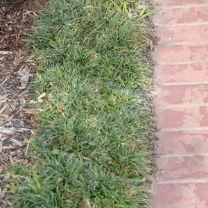 Poyntons of Essendon - Ophiopogon japoniccus nana