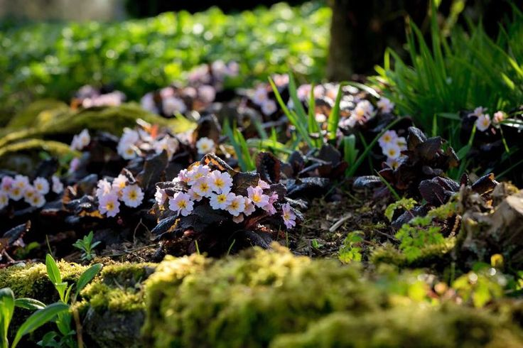 """Irish Primrose on Twitter: """"That which is under our nose is often least appreciated. Beautiful hardy heritage perennials. https://t.co/zBoFvo9AWL"""""""