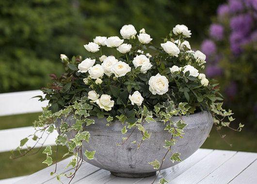 Om sommeren er det flott å plante potterosene ute i store fine blomsterkrukker.