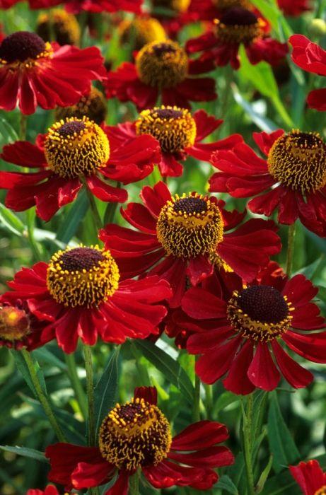 Helenium Rubinzwerg -beautiful perennial flower to use in a naturalistic planting palette.