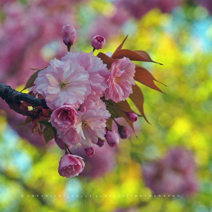 Itt mindig szép a tavasz, két hétvégén is megnéztem a virágzó fákat az Alsólövér és a Mikoviny utcában. Mikor teljes pompájukban voltak, akk...