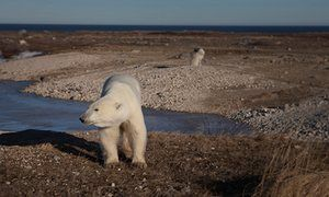 A polar bear outside Churchill, Hudson Bay, Canada, November 2016