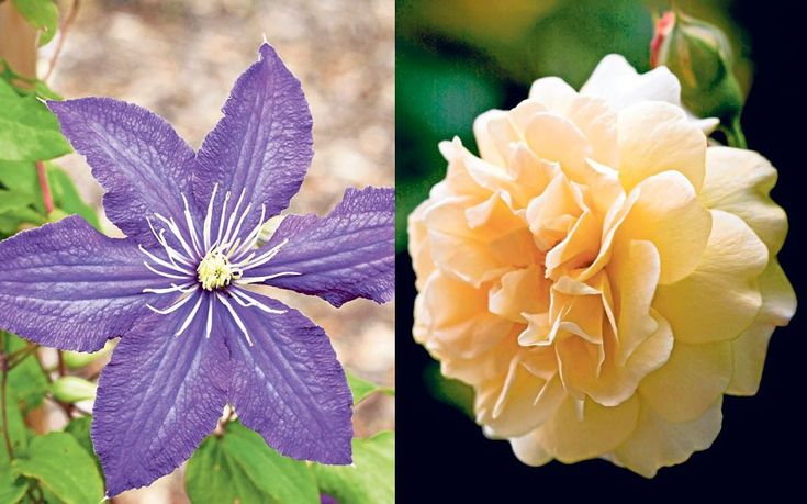 Our gardening agony aunt answers your queries.This week: prolonging foxgloves, growing rose and clematis   and maintaining a hydrangea