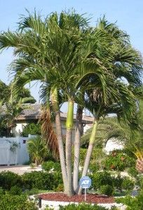 Alexander palm, grows very tall but very fast, up to 1m per year, plant 2 - 3 in the same hole to get the tropical effect.