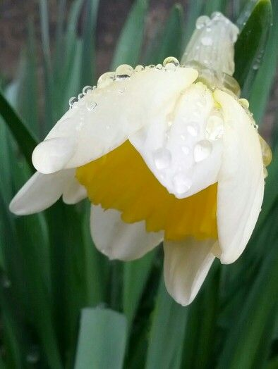 Daffodil with Raindrops