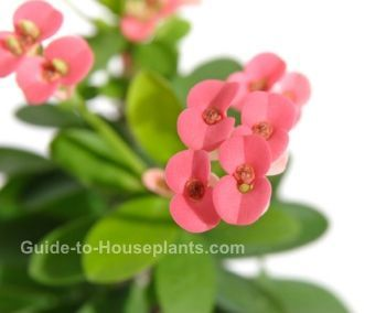 Crown of Thorns plant is a succulent house plant capable of blooming almost year-round. Find out how to prune, propagate, and get the most flowers.
