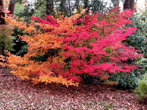 Stunning fall shrubs: Garden Black chokeberry is orange, and burning bush is red.    autumn, fall, gardens, foliage, fall blooming, fall flowers, fall gardening tips, fall gardening, fall gardening vegetables, fall gardening plants, fall gardening ideas, fall gardening for beginners, fall gardening containers, fall bushes, fall shrubs, fall bulbs, autumn, autumn garden plants, planted in the fall, fall outdoor fall plants.     #fall #autumn #fallgarden #fallgardening  #autumngarden