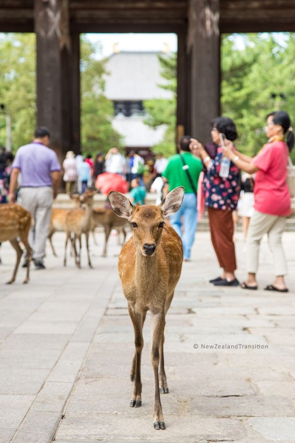 nara sika deer outside Todai-ji main gate
