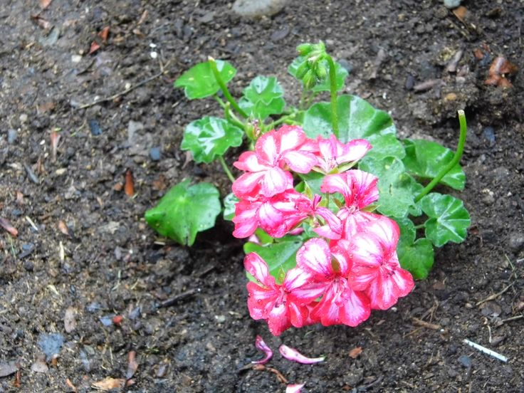 Geranio rosa flores plantas y rboles de mi jard n for Arboles de flores para jardin