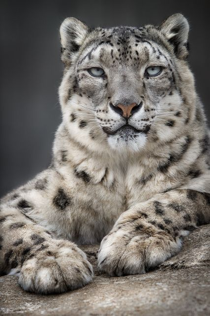 ~~Snow Leopard by William T Hornaday~~