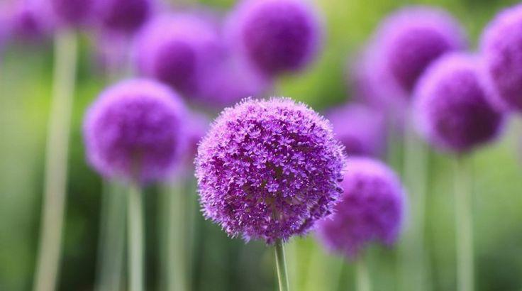 Декоративный лук – для цветника и салата