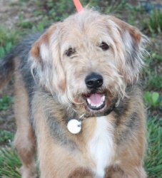 Ivan is an adoptable Airedale Terrier Dog in Poland, IN. **Please send us an email in addition to your application!!** Ivan is a sweetie pie boy!  His elderly owner had to move and was not able to tak...