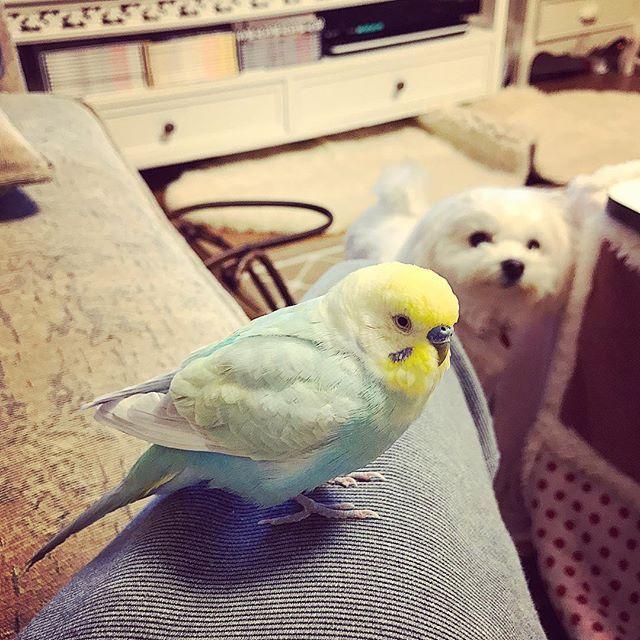 インコのピッチ、今度は俺のとこに来た^_^  全く相手にされない、  愛犬ベルはやはり、 遠くから見つめることしか出来ない…笑  つくづくおもしろい奴め…笑  #ピッチ #レゴ #lego  #愛犬 #マルチーズ #ベル #相手にされない #全く相手にされない #見つめる犬  #ウケる  #2017年1月3日 #ペットとレクザ