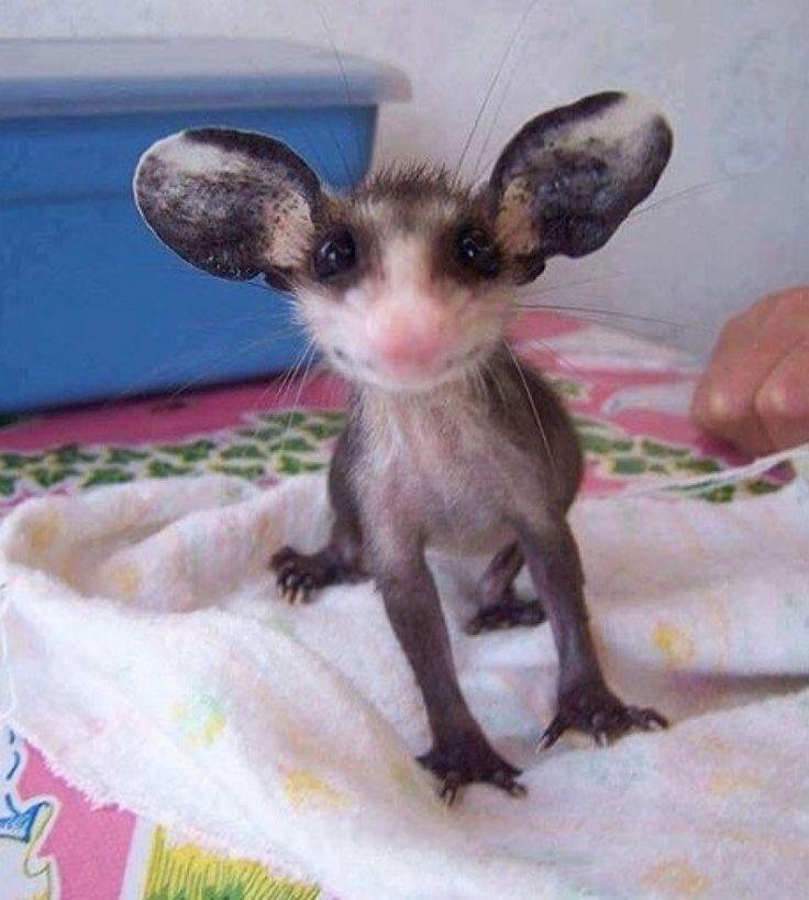 Esta pequeña zarigüeya es la criatura más tierna del mundo