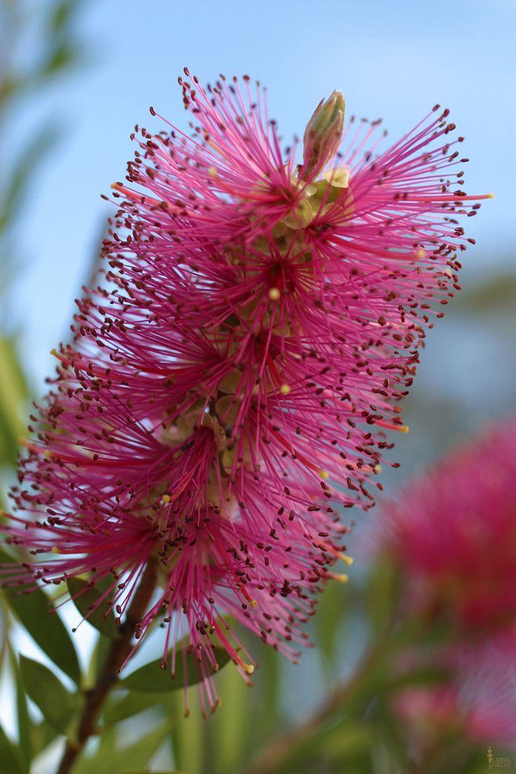 Sacramento Landscaping: Evergreen Shrubs and Trees Bottle Brush Capital Landscape recommended plants for Sacramento's zone 9.