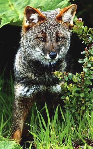 Darwin's Fox - listed as critically endangered Photo by Juan Mauricio Contreras