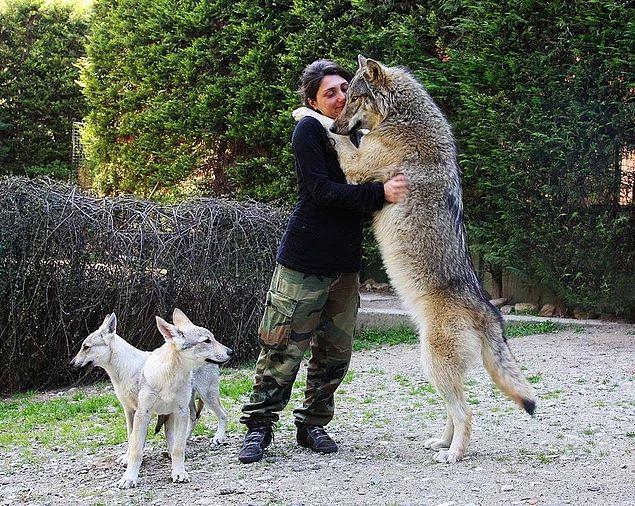 Kurtlar köpekgiller ailesindeki en büyük canlıdır. Bu ailedeki diğer hayvanlar, evcil köpek, çakal, yabani köpek, dingo ve tilki gibi canlılardır.