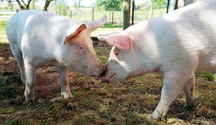 A crucial question at the heart of animal rights conversations: Are animals sentient? Many countries have legally declared it true, and many scientific studies concur that animals are sentient beings. But what does sentience really mean and how exactly do you measure it in animals across species? Are farm animals more or less conscious than...