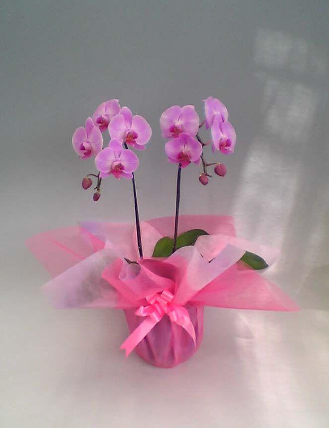 Cum readucem la viata o orhidee phalaenopsis? - Verde la birou