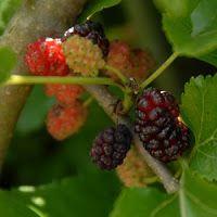 Wine Recipes: Sweet Mulberry Wine