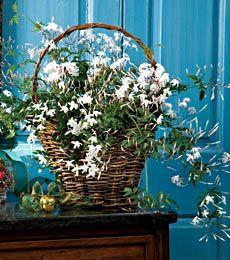 Growing Guide for Jasmine Plants - Flower Jasmine Plant - Jasmine Houseplant - Jasmine fFower - White Flower Farm
