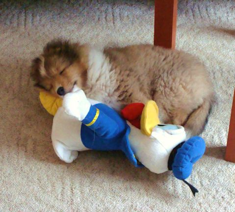 Snoozing with Donald Duck