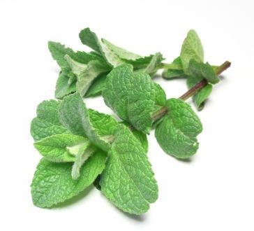 Peppermint USA Essential Oil Wildcrafted Exporter Benefits: cooling, stimulant to heart, brain, and pancreas, nerve tonic, anesthetic, pain... Price:$8.25
